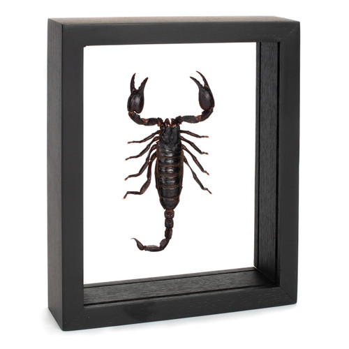 Forest Scorpion - Heterometrus spinifer - Black Finish