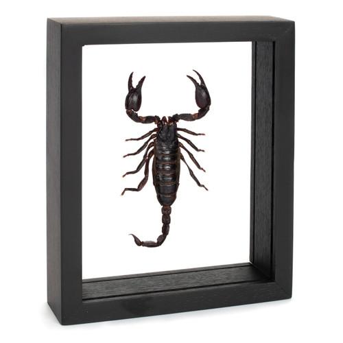 Forest Scorpion - Heterometrus spinifer - Black Finish