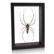 Joro Spider - Nephila clavata