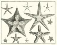 Albertus Seba Print - Vol. 3 Plate 7
