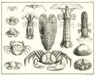 Albertus Seba Print - Vol. 3 Plate 20
