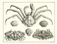 Albertus Seba Print - Vol. 3 Plate 22