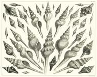 Albertus Seba Print - Vol. 3 Plate 79