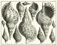 Albertus Seba Print - Vol. 3 Plate 81