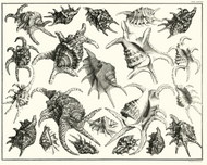 Albertus Seba Print - Vol. 3 Plate 82