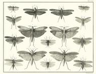 Albertus Seba Print - Vol. 4 Plate 79