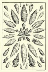 Albertus Seba Print - Vol. 3 Plate 51