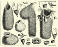 Albertus Seba Print - Vol. 1 Plate 68