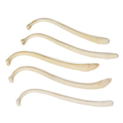 Assorted Raccoon Penis Bones