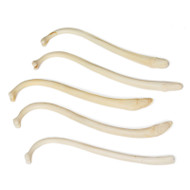 Assorted Raccoon Penis Bones