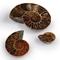 Ammonite Half - Thumbnail