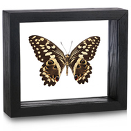 Citrus Butterfly - Papilio Demodocus - Underside