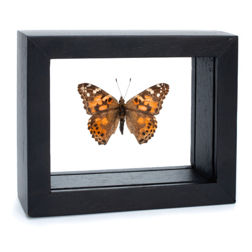 The Painted Lady Butterfly - Vanessa Cardui - Topside - Black Finish