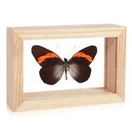 Callinira Butterfly - Pereute callinira - Natural Frame