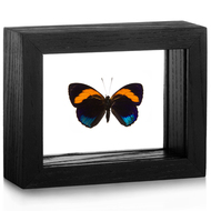Superb Numberwing - Callicore pastazza - Black Frame