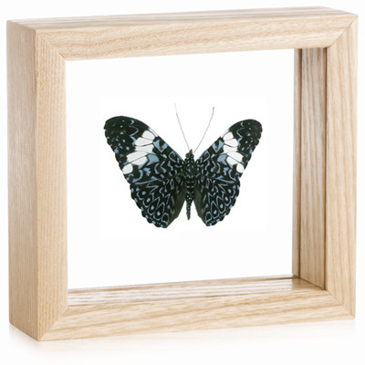 Blue Cracker Butterfly - Hamadryas amphinome - Natural Frame