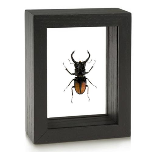 Stag Beetle - Hexarthrius deyrollei - Black Frame