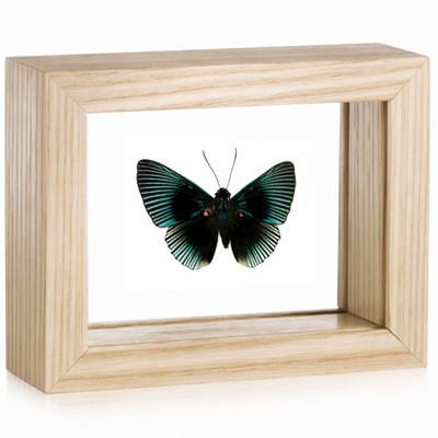 Metalmark Butterfly - Lyropteryx apollonia - Natural Frame