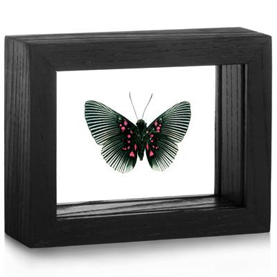Metalmark Butterfly - Lyropteryx apollonia - Underside - Black Frame