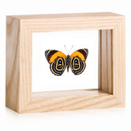 Superb Numberwing - Callicore pastazza - Underside - Natural Frame
