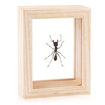 Bullet Ant - Paraponera clavata - Natural Frame