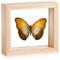 Common Yellow Glider - Cymothoe reinholti - Natural Frame