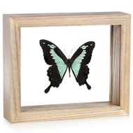 Green-Patch Swallowtail Butterfly - Papilio Phorcas - Natural Frame