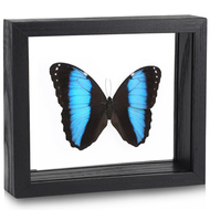 Achilles Morpho Butterfly - Morpho achilles - Black Frame