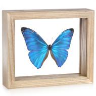 Morpho adonis - Natural Frame