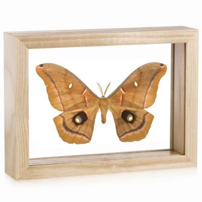 Giant Silk Moth - Antheraea polyphemus - Natural Frame