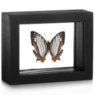 Common Map Butterfly - Cyrestis thyodamas - Black Frame