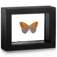 Mounted Meadow Wanderer Butterfly - Sallya (crenis) pechueli - (Black Frame)