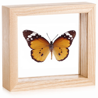 The African Monarch Butterfly - Danaus chrysippus - Natural Frame