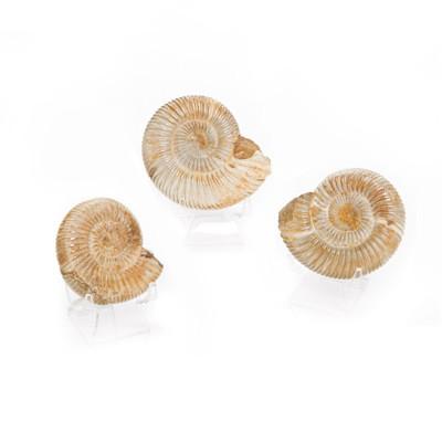 Fossil Ammonite - Thumbnail
