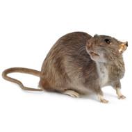 Dark Rat