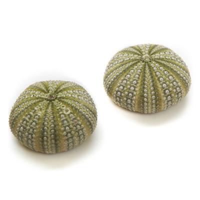 Mexican Green Urchin - Thumbnail