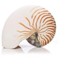 Indonesian Chambered Nautilus - Thumbnail