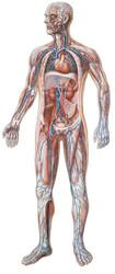 Vascular System - Poster