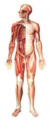 Nervous System - Front