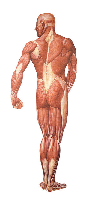 Musculature System - Back