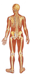 Human Skeleton Poster - Rear