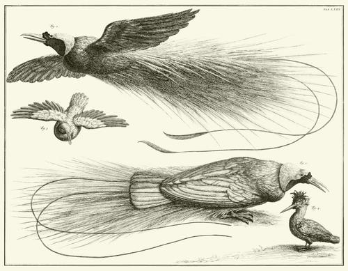 Albertus Seba Print - Vol. 1 Plate 63
