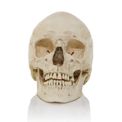 Adult Human Skull - European Female - Front