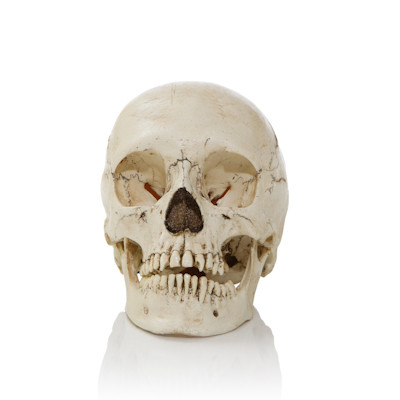 Adult Human Skull - Asian Adolescent - Front