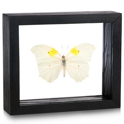 Anteos clorinde (Topside) - Black Frame