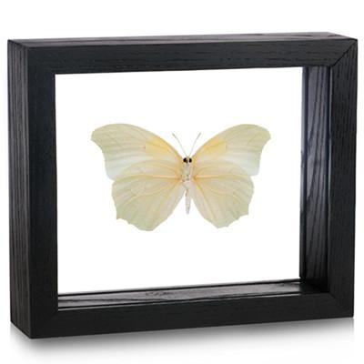 Anteos clorinde (Underside) - Black Frame