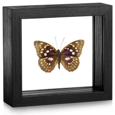 Sasakia charonda - Black Frame