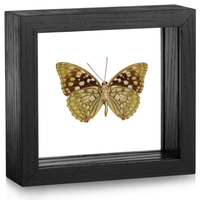 Sasakia charonda (Underside) - Black Frame