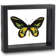 Rothschild's Birdwing Butterfly - Ornithoptera rothschildi - Black Finish