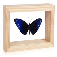 Striped Blue Crow Butterfly - Euploea mulciber - Natural Finished